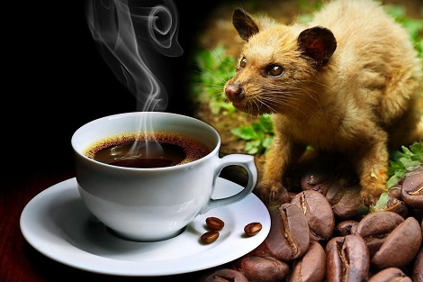 بالصور أغلى قهوة في العالم مصنوعة من براز هذا الحيوان Cawalisse كواليس اليوم